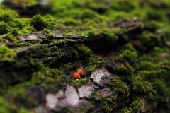 Uiterst kleine rode paddestoelen die op schors van de gevallen boom groeien bij het bos in Kriviy Rih, de Oekraïne royalty-vrije stock foto