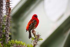 Uiterst kleine rode vogel Royalty-vrije Stock Afbeeldingen
