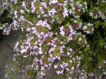 Uiterst kleine Roze Bloemen Stock Afbeelding