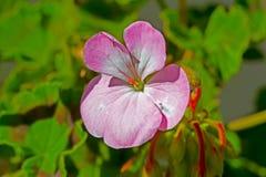 Uiterst kleine Roze Geraniumbloem stock afbeelding