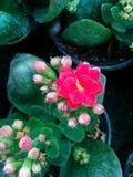Uiterst kleine rozeachtige bloem Stock Foto