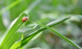 Uiterst kleine Slak in het gras Royalty-vrije Stock Foto
