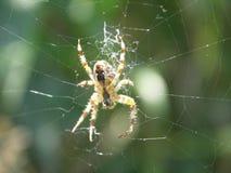Uiterst kleine spin in het midden van spinneweb Stock Afbeelding