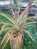 Uiterst kleine tropische ananas in Borneo royalty-vrije stock afbeelding