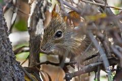 Uiterst kleine veldmuis die uit van dekking gluren Stock Foto
