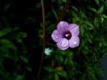 Uiterst kleine Violette Bloem Stock Afbeelding