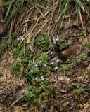 Uiterst kleine violette bloemen tussen vernietigd gras stock foto