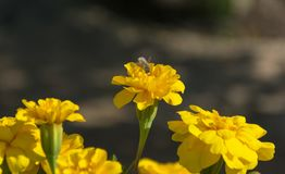 Uiterst kleine Witte Beefly en een Goudsbloembloem royalty-vrije stock afbeeldingen