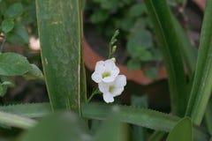 Uiterst kleine witte bloem Royalty-vrije Stock Afbeeldingen