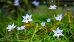 Uiterst kleine witte bloemen Royalty-vrije Stock Foto's