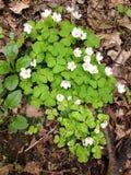 Uiterst kleine witte bloemen in het hout Royalty-vrije Stock Foto's