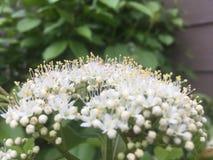 Uiterst kleine Witte Bloemen op een Grote Struik stock foto's