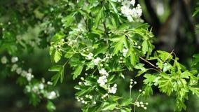 Uiterst kleine witte de lentebloemen en leafage van Gemeenschappelijke Haagdoorn in gematigde wind, 4K stock video