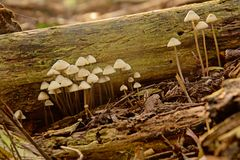 Uiterst kleine witte paddestoelen naast een gevallen boomtak Royalty-vrije Stock Afbeeldingen