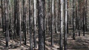 Uitgebreid struikgewas van pijnboom, struikgewas stock video