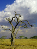Uitgedroogde skeletachtige boom in de Afrikaanse savanne, Tan Stock Foto