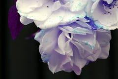 Uitgegeven foto van drie tot bloei komende rozen royalty-vrije stock afbeelding