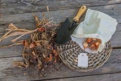 Uitgegraven tulpenbollen na het bloeien Royalty-vrije Stock Afbeeldingen