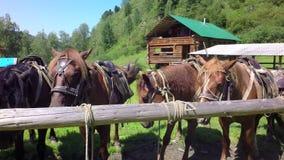 Uitgeruste paarden op video van de de voorraadlengte van de leiband de langzame motie stock videobeelden