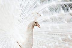 Uitgespreid van een witte pauw Royalty-vrije Stock Foto