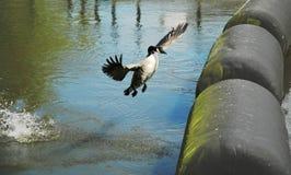 Uitgespreide vleugels royalty-vrije stock afbeelding