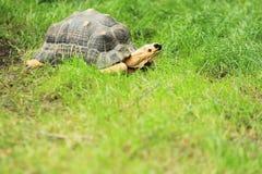 Uitgestraalde Schildpad Stock Afbeelding