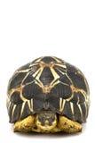 Uitgestraalde Schildpad Royalty-vrije Stock Afbeeldingen