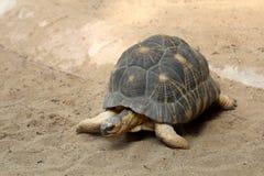 Uitgestraalde Schildpad stock foto