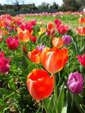 Uitgestrektheid van kleurrijke tulpen in de de lenteweide Mooie zonnige Maart-dag Duizend kleuren van Nederlandse tulpen royalty-vrije stock foto