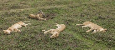 Uitglijdend leeuwenwijfje royalty-vrije stock afbeeldingen