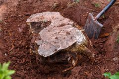 Uitgravend die, een oude boomstomp in de tuin ontwortelen royalty-vrije stock foto