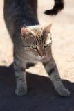 Uitrekkend kattenportret Royalty-vrije Stock Foto