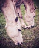 Uitstekend beeld van paarden die op gras weiden Stock Foto
