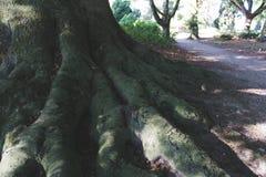 Uitstekend beeld van wortels van een boom die een weg naast het tonen stock foto's