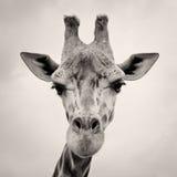 Uitstekend sepia gestemd beeld van een Hoofd van Giraffen Royalty-vrije Stock Foto's