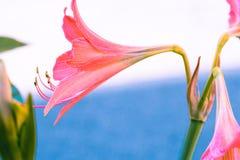 Uitstekende Amaryllis-bloemenpastelkleur aan Creatief patroon royalty-vrije stock afbeelding