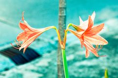 Uitstekende Amaryllis-bloemenpastelkleur aan Creatief patroon stock foto's