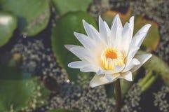 Uitstekende beelden witte lotusbloem en bloemen Stock Afbeeldingen