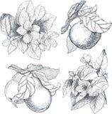 Uitstekende botanische geplaatste illustratiebloemen en vruchten Stock Foto's