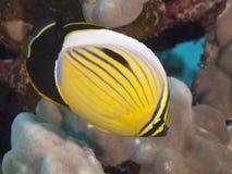 Uitstekende butterflyfish Stock Afbeelding