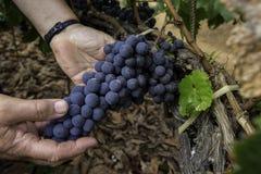 Uitstekende druiven Royalty-vrije Stock Fotografie