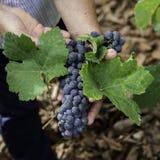 Uitstekende druiven Stock Fotografie