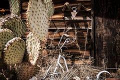 Uitstekende foto van cactus en dierlijk skelet in SELIGMAN, ARIZONA/USA royalty-vrije stock afbeelding