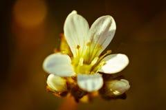 Uitstekende foto van de witte bloem van de kersenboom in de lente stock afbeelding
