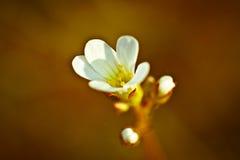 Uitstekende foto van de witte bloem van de kersenboom in de lente royalty-vrije stock foto