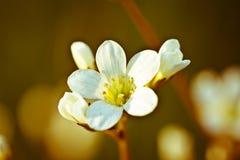 Uitstekende foto van de witte bloem van de kersenboom in de lente royalty-vrije stock afbeeldingen