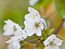 Uitstekende foto van de witte bloem van de kersenboom in de lente stock foto's