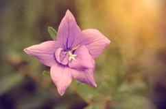 Uitstekende foto van een roze wildflower Stock Foto