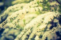 Uitstekende foto van het witte spirea bloeien Royalty-vrije Stock Fotografie