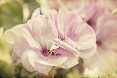 Uitstekende foto van roze bloemen (geranium) met ondiepe dof Stock Afbeeldingen
